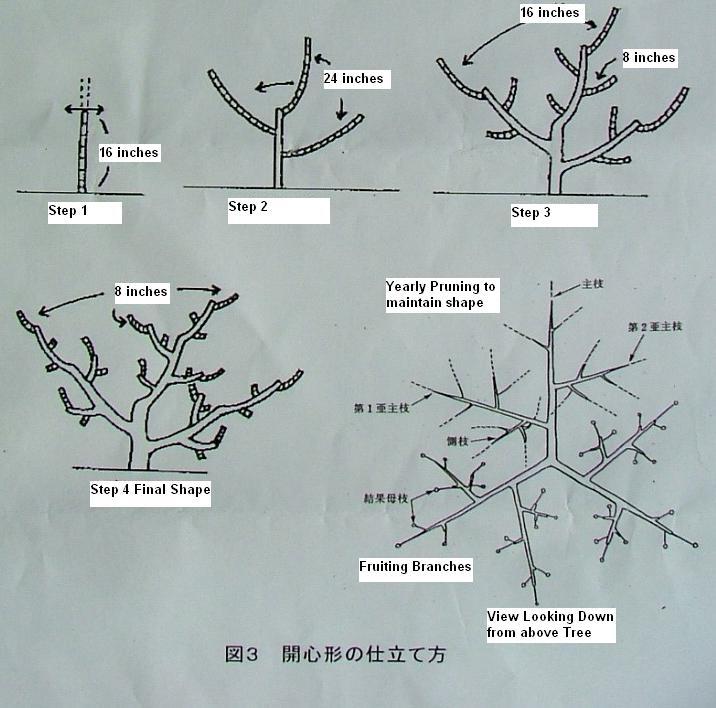 Fig Tree Pruning Method Family Food